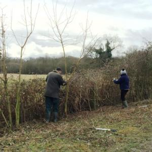 75 2017 hedge laying 2