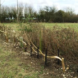 76 2017 hedge laying